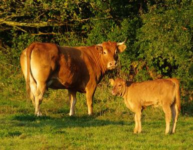 Nos vaches et veaux